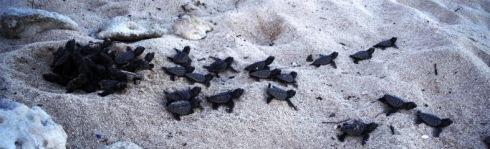 Sea Turtles Akumal
